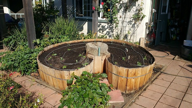 Keyhole Garden Planted with Winter Vegetables