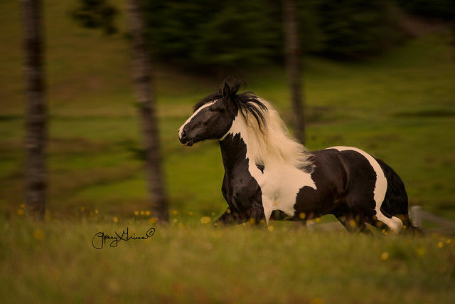 Beautiful Drum stallion