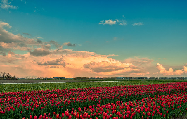 The tulips went all out to see the big clouds.