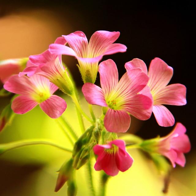 Minuscules Fleurs de Trèfle