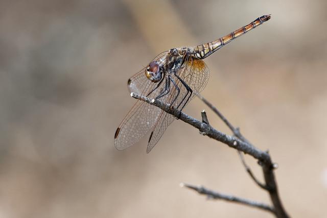 DSC_5735_DxO - libellule en Plaine des Maures