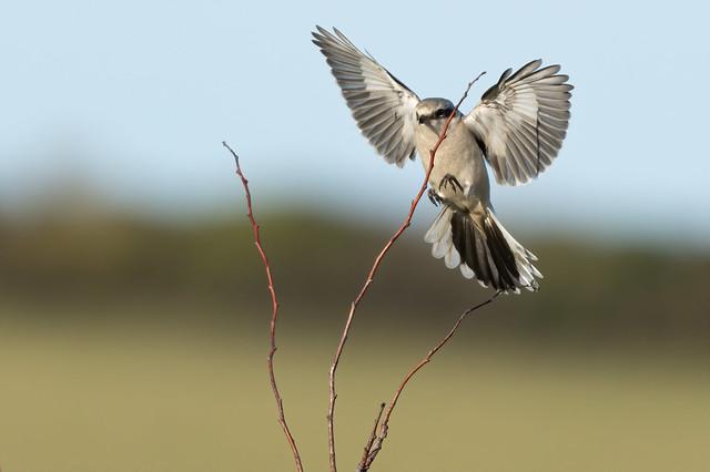 Great Grey Shrike (Landing)
