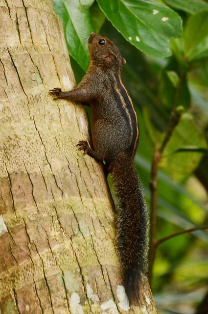 Funambulus layardi - Layard-Palmenhörnchen - Layard's Palm Squirrel