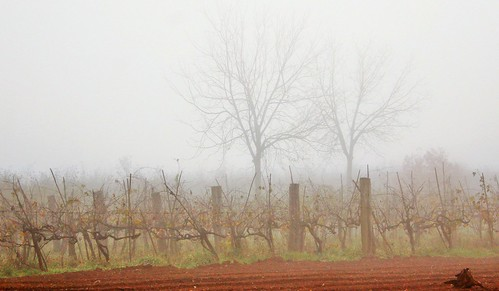 Autumn: rain and fog between the rows of vines and plowed fields