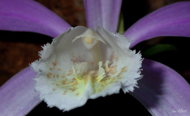 Looking Down the Throat of a Pleione Orchid