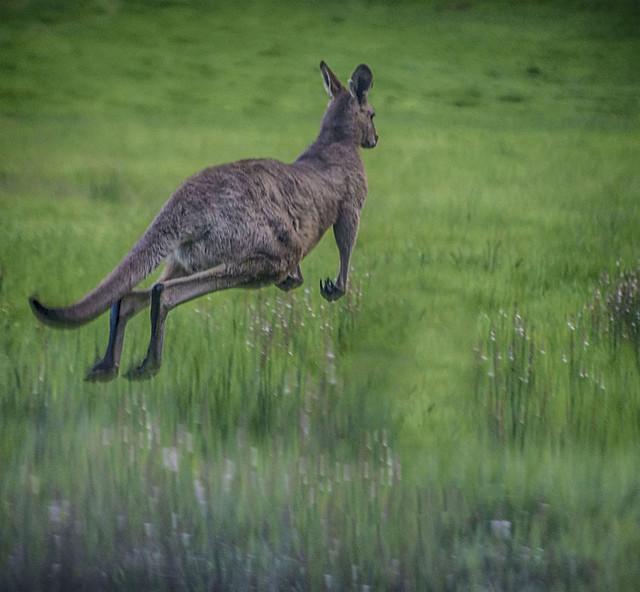 Kangaroo in Motion