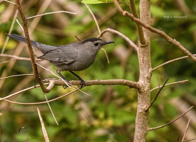 Gray catbird with snack
