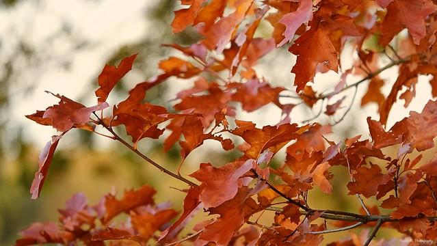 Autumnal Leaves. Nov 2019