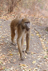 Baboon On The Path