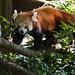 "<p><a href=""https://www.flickr.com/people/94209416@N06/"">Seventh Heaven Photography - (Fauna)</a> posted a photo:</p>  <p><a href=""https://www.flickr.com/photos/94209416@N06/49061644133/"" title=""Red Panda (Ailurus fulgens)""><img src=""https://live.staticflickr.com/65535/49061644133_9e62f1c4c5_m.jpg"" width=""240"" height=""160"" alt=""Red Panda (Ailurus fulgens)"" /></a></p>"