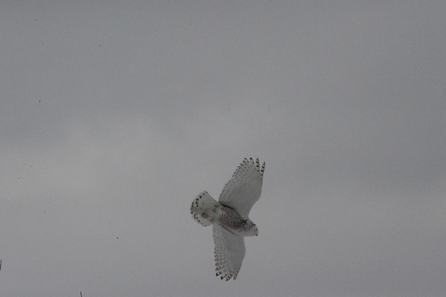 Snowy owl flying above Cobourg West Pier , edited photograph , Martin's photograph , Cobourg , Ontario , Canada , March 1. 2015
