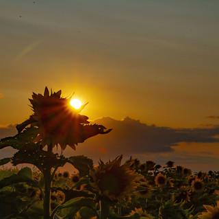 sunflowerhorizons