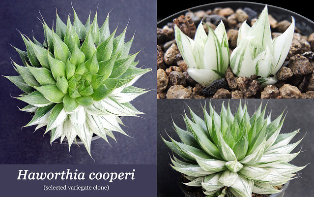 Haworthia cooperi [a selected variegated clone] (collage)