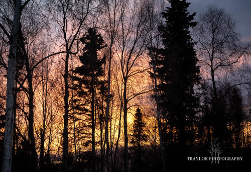 view silhouette winter backyard sky colors susnet alaska anchorage birch spruce unitedstatesofamerica
