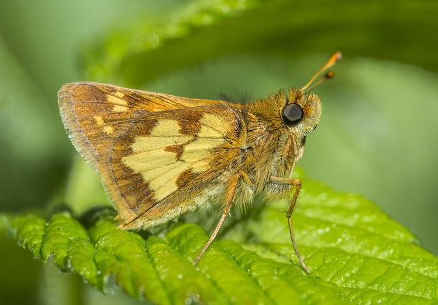 Peck's Skipper - Polites peckius (Hesperiidae, Hesperiinae, Hesperiini) 114v-4213