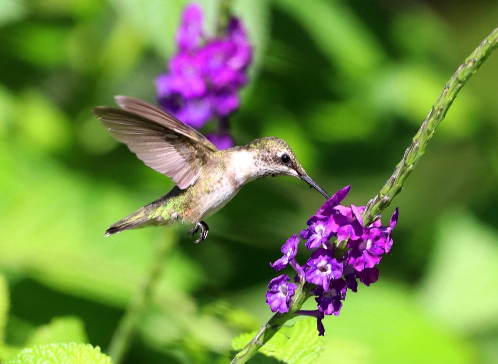 TINKERBELL Likes the Porterweed nectar; Yardbirds, Winter Haven, Florida