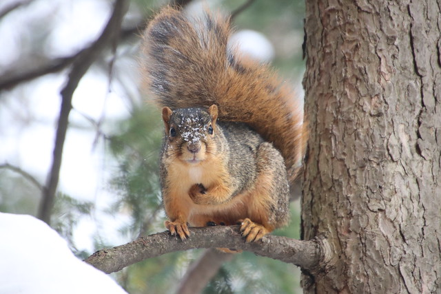 155/366/4172 (November 13, 2019) - Juvenile and Adult Fox Squirrels on a Snowy Day in Ann Arbor at the University of Michigan - November 13th, 2019