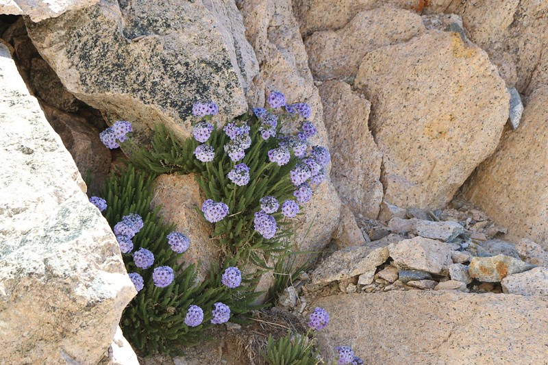 Polemonium Eximium (aka Sky Pilot) Flowers blooming at Glen Pass - they only grow at the highest elevations