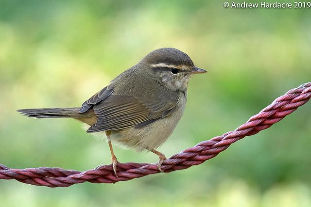 Phylloscopus schwarzi - Radde's Warbler