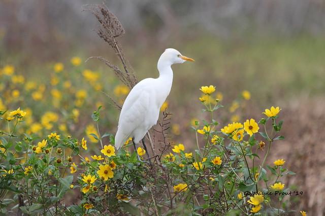 Cattle Egret (Bubuclus ibis)