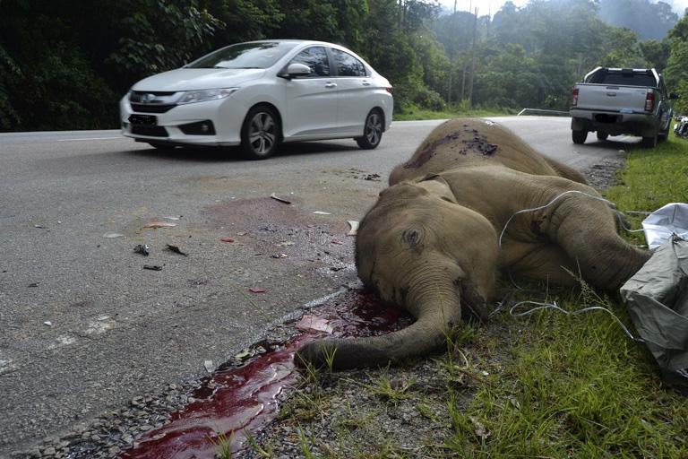 一頭小象死於馬來西亞半島地區的一場高速路車禍。圖片: 3H聯盟。