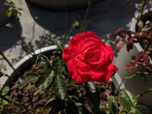 Seouljo rose