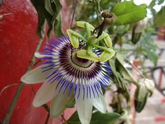 Mburucuyá-Passiflora caerulea