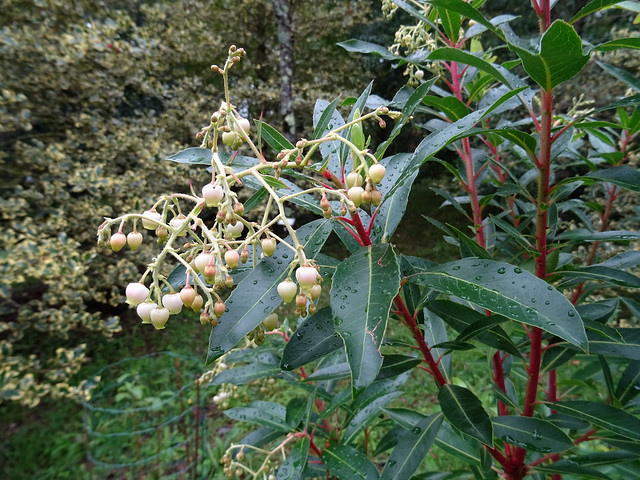 Arbutus × andrachnoides Link 1821 (ERICACEAE).