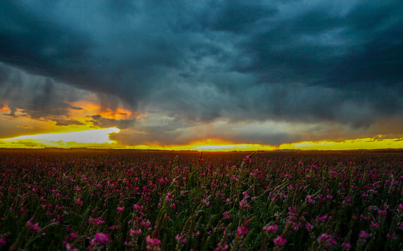 Sainfoin field at sunset before a storm