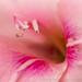 Pink Gladiolus, 6.24.19