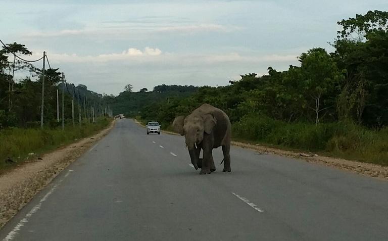 一頭婆羅洲象橫跨京那巴當地區的一條兩車道公路。圖片: 3H聯盟。