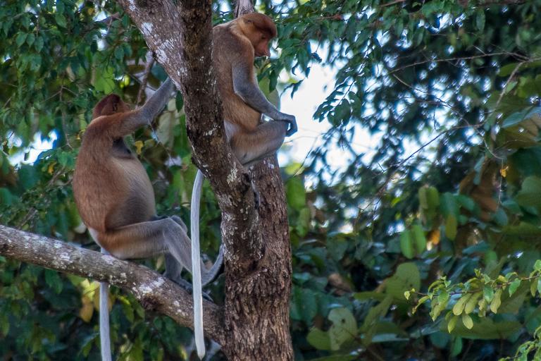 長鼻猴吸引遊客到沙巴,但目前規劃的AH150公路建設可能會破壞它們在婆羅洲西北部的紅樹林棲息地。圖片: John C. Cannon:Mongabay.