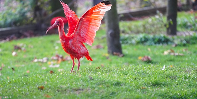 Red Ibis - 7704