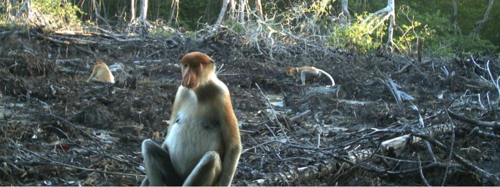 紅樹林廢墟中的長鼻猴。圖片: 聯盟。