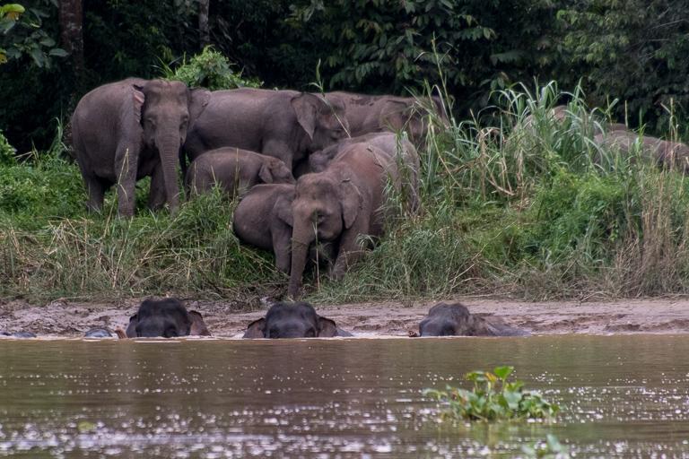 一群大象趟過沙巴的京那巴當河(Kinabatangan River)。圖片: John C. Cannon:Mongabay.