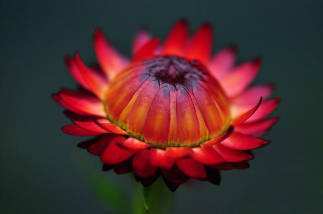 Red Paper Daisy (Xerochrysum bracteatum)