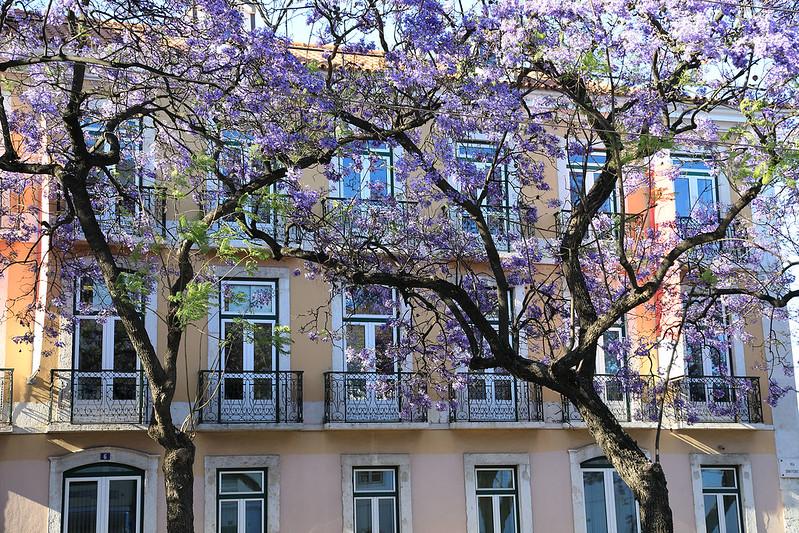 Lisbon jacaranda