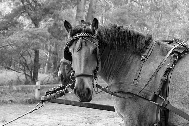 Horsepower | Beauty in Black and White