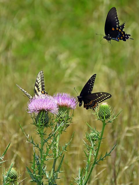 Butterflies on Thistle