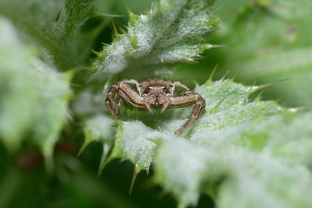 Crab Spider, female (Xysticus cristatus) Krabbspindel