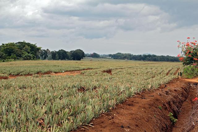 Pineapple fields, Mindanao
