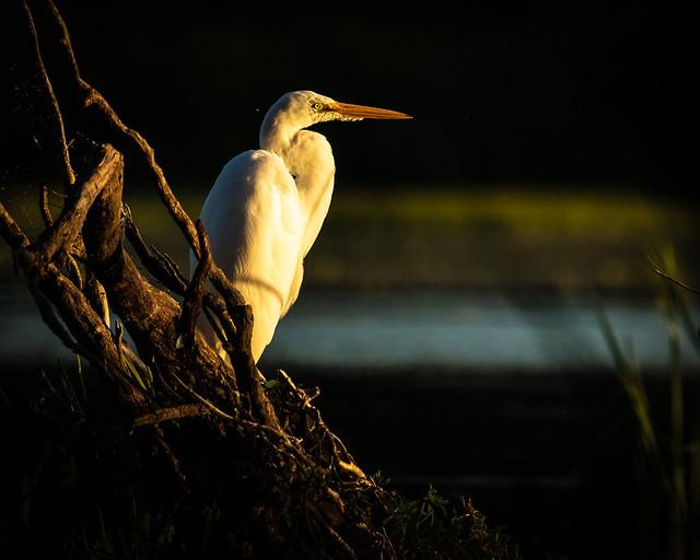 Egret last light of the day