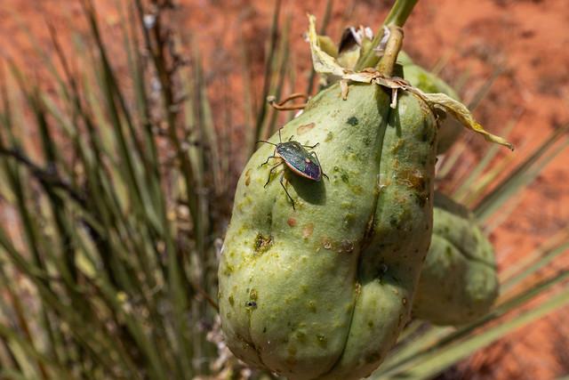 Bug on yucca