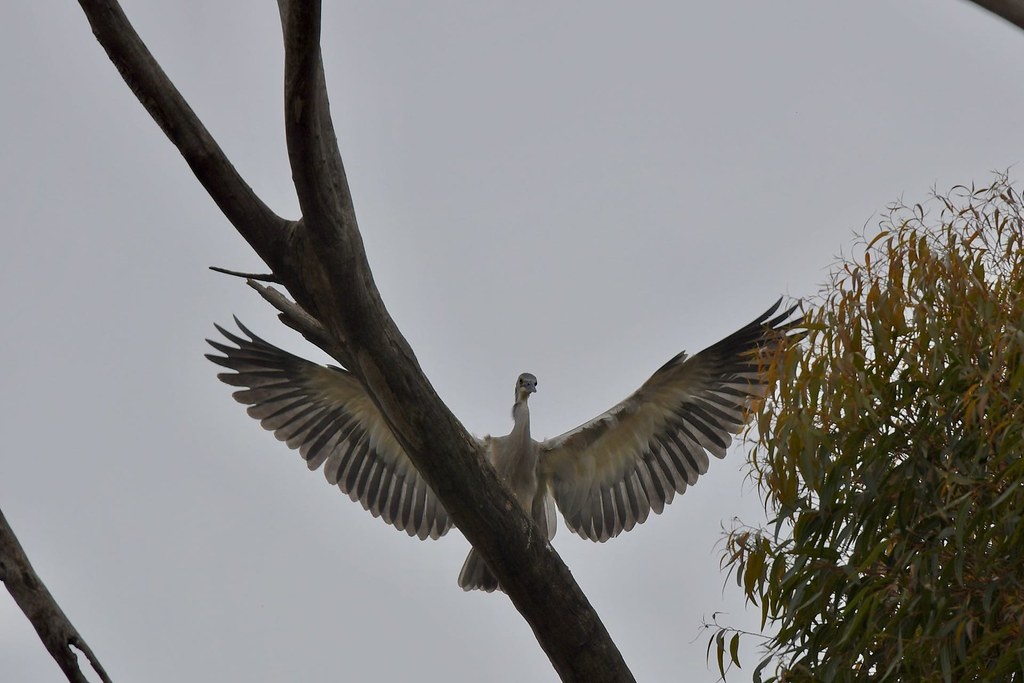 White -faced Heron Juv. ( still learning  landing )