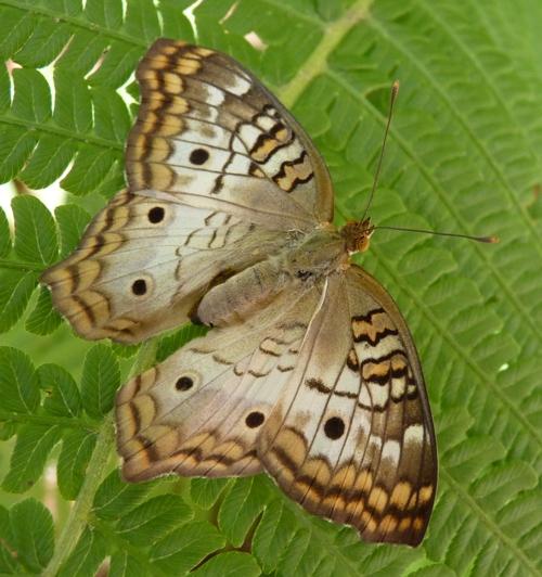 Anartia jatrophae 49063951752_33f424ca44_o