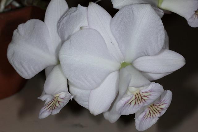Cattleya nobilior f. amaliae 2019-11-11 01