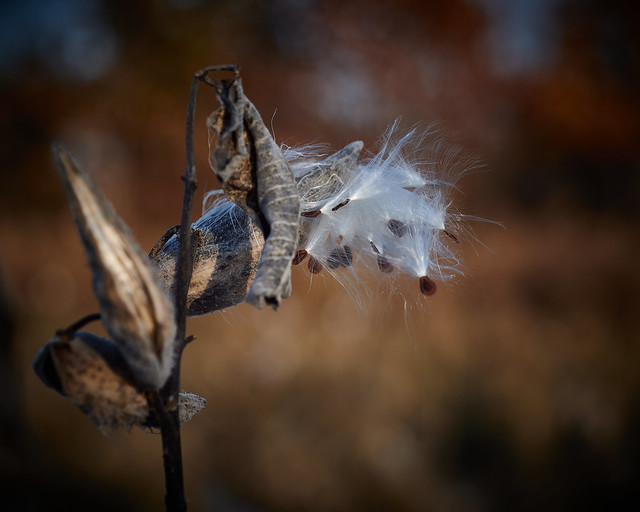 milkweed, after dawn, 11-8-19