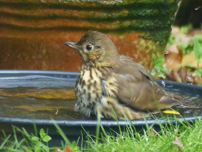 Songbird - Songthrush