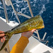 Fishing for Mahi-Mahi (Dorado, Dolphinfish) from sailing yacht