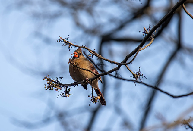 lady cardinal having afternoon snack